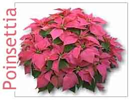Poinsettia Pink