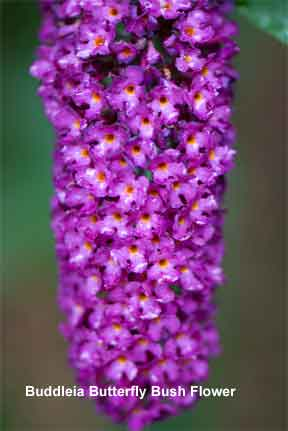 close up of Buddleia flower