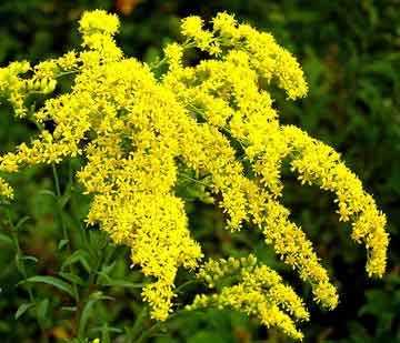 Goldenrod+Weed Goldenrod – The Plain Weed