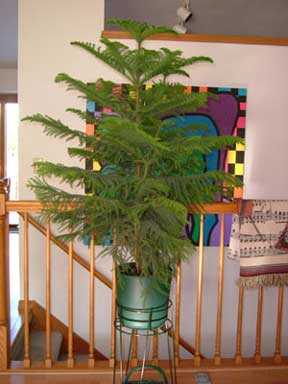 norfolk island pine potted