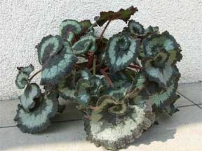 How to Propagate a Rex Begonia Leaf